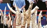 武汉即日起禁交易象牙及制品