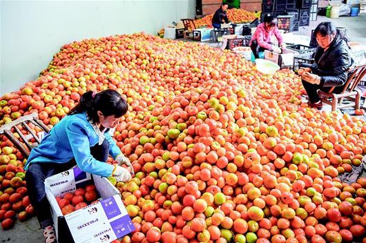 保康县高山反季节西红柿装箱 直销武汉各大超市