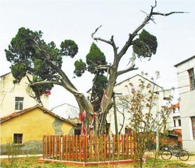 1200岁!武汉最年长古树从唐代晚