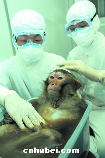 在p3实验室的日子 直击非典疫苗动物实验(图)