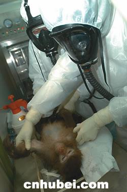 见证sars疫苗动物实验(组图)
