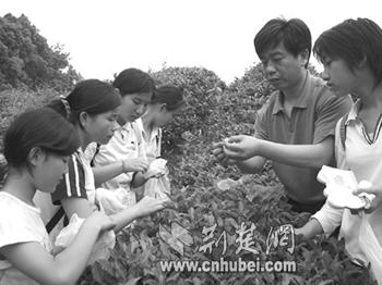 初中生学采茶(图)