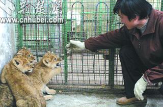 图为3只小狮子与饲养员嬉戏玄凤鹦鹉大小体型图片