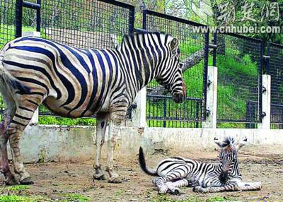 武汉动物园斑马喜添崽