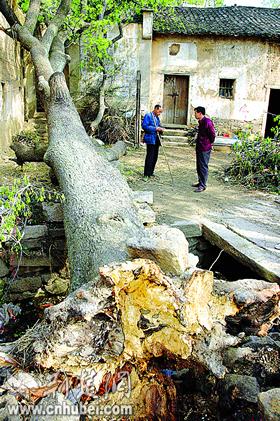600岁古枫被风刮倒 根下现出50年的灵芝(图)