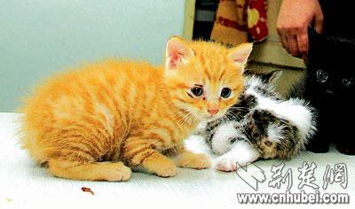 三只猫宝宝全不长尾巴