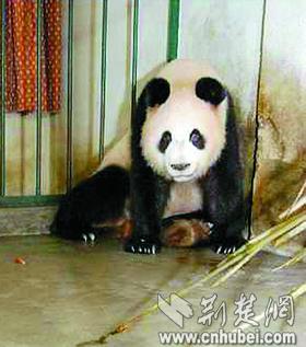 """大熊猫9胎生下13仔创纪录 本报记者入川接""""庆庆"""""""