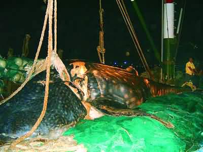 鲨血浴囹�a_宁波渔民捕获一条上万公斤重巨鲨(图)