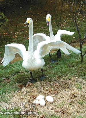 图文:人工饲养白天鹅产蛋