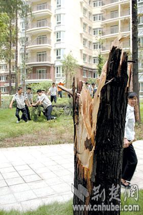 [图文]木秀于林雷电摧之 高大的水杉树昨被劈开