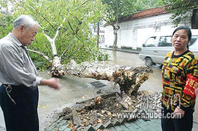 武昌莲溪寺:烂根大树突然倒地 险砸中路人(图)