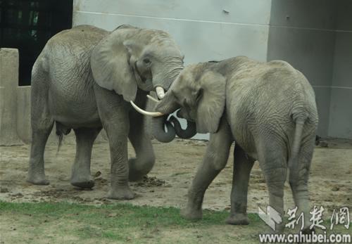 武汉动物园两只非洲象结婚了(图)