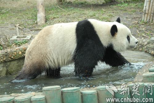 """武汉动物园大熊猫""""伟伟""""主动洗澡迎新年(图)"""