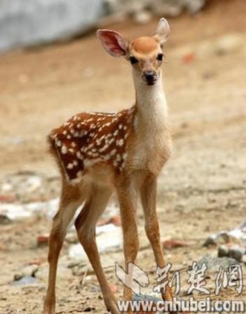 可爱的梅花鹿