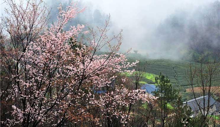 湖北宜昌:雾绕茶乡生态美