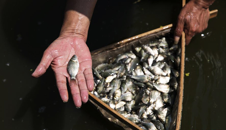 湖北科学家育出新品种 全国鲫鱼三年内将更新换代