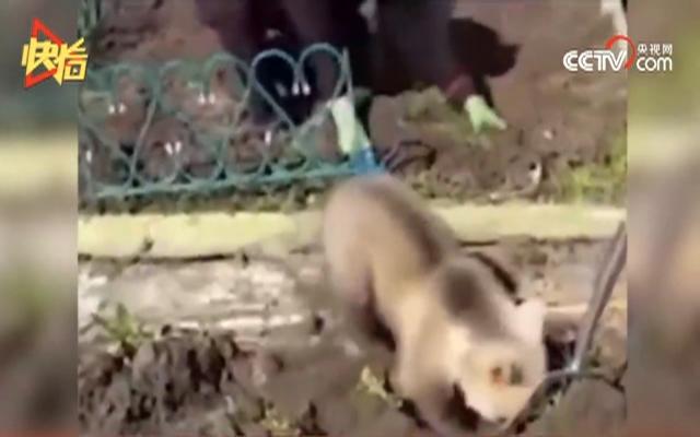 熊宝宝卖力为主任挖地