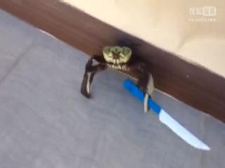 螃蟹从厨房逃走了 手上还拿了把刀