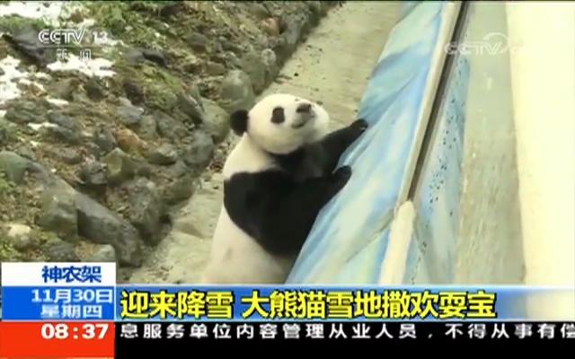 神农架迎来降雪 大熊猫雪地撒欢耍宝