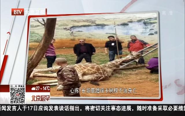 心疼!长颈鹿蹭痒卡树杈不治身亡