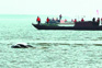 风大浪高受伤江豚5天难觅踪迹 搜救队及专家暂时撤离