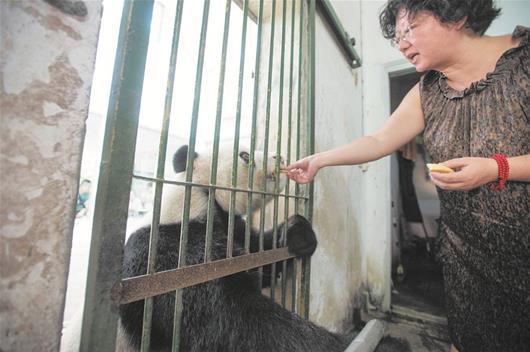 武汉动物园大熊猫看门诊 医生说需要补充微量元素