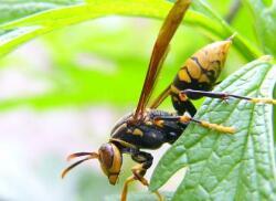 农妇被马蜂蜇伤生命垂危 蜂毒等级你了解吗?