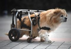 """""""狗坚强""""靠轮椅行走"""