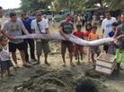 菲律宾再捕获巨型皇带鱼