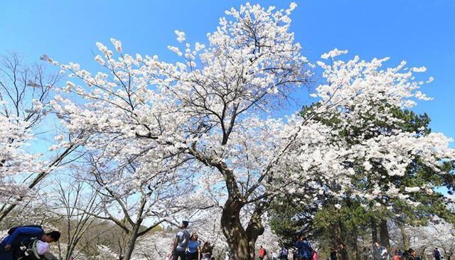 加拿大多伦多樱花绽放