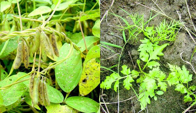 重点保护植物重现洪湖