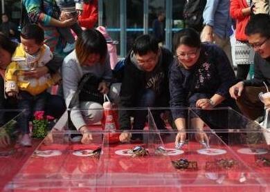 武汉现螃蟹赛跑比赛