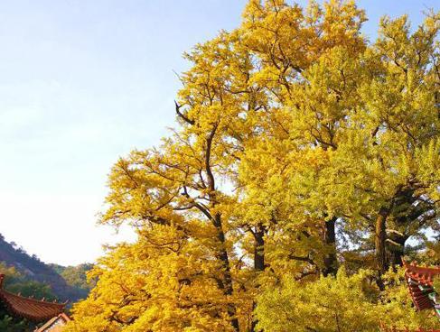 二千八百余岁银杏古树