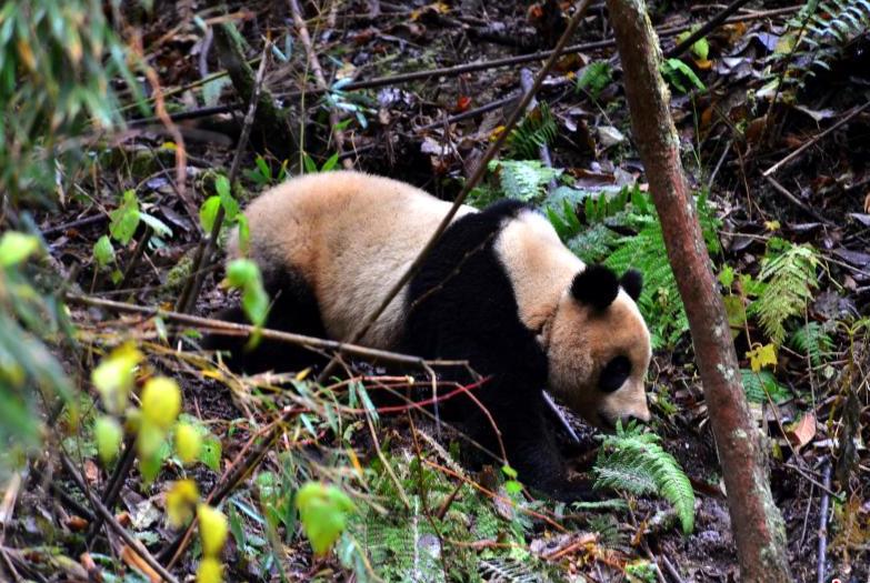 野化大熊猫回捕成功