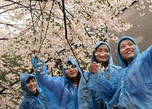 武汉大学樱花初放 游客冒雨赏樱