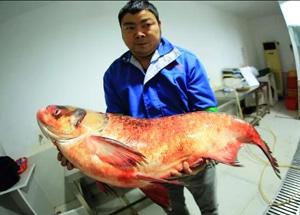 65斤!湖北丹江口水库现野生鳙鱼王