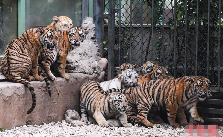 12只小老虎集体亮相