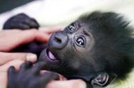 黑猩猩露婴儿般微笑