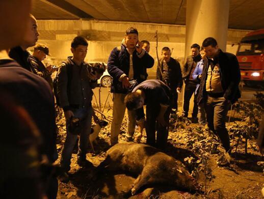 野猪闯政府大院被撞死