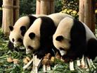 熊猫宝宝拜年