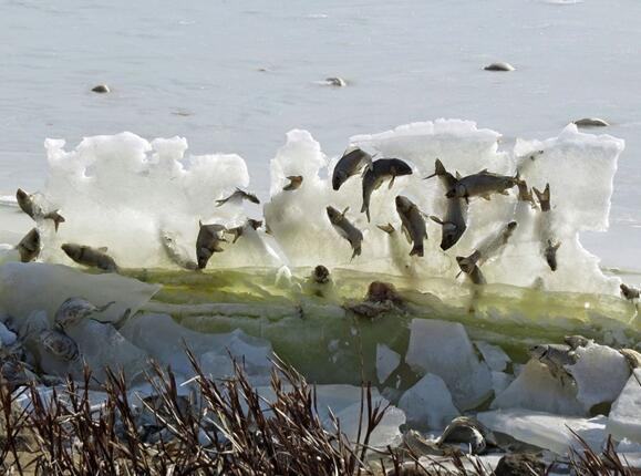 奇景:鱼被冰封在空中
