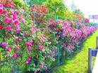 武汉最长月季花廊绽放