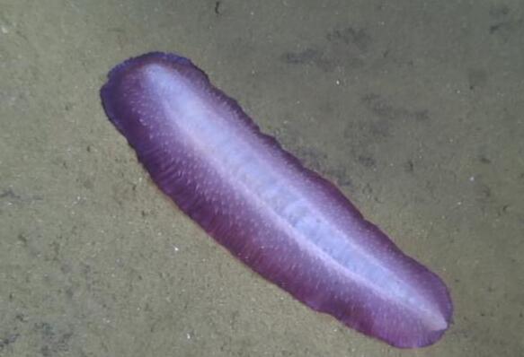 """""""蛟龙""""号发现紫色海参"""