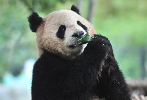 熊猫吃粽子迎端午