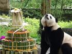 海归大熊猫欢度4岁生日