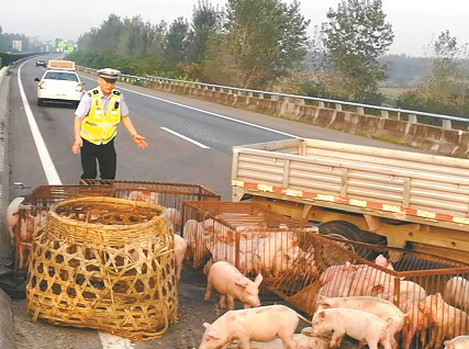 百只小猪崽高速上撒欢