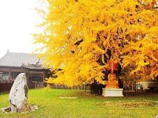 千年银杏树成网红