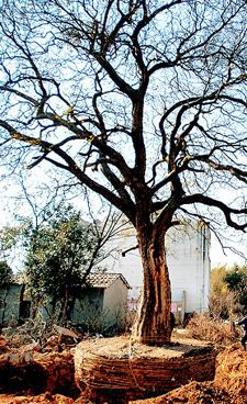 陌生人闯进村锯挖150年朴树